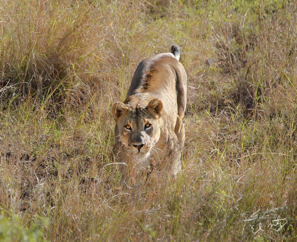 lioness 3.jpg