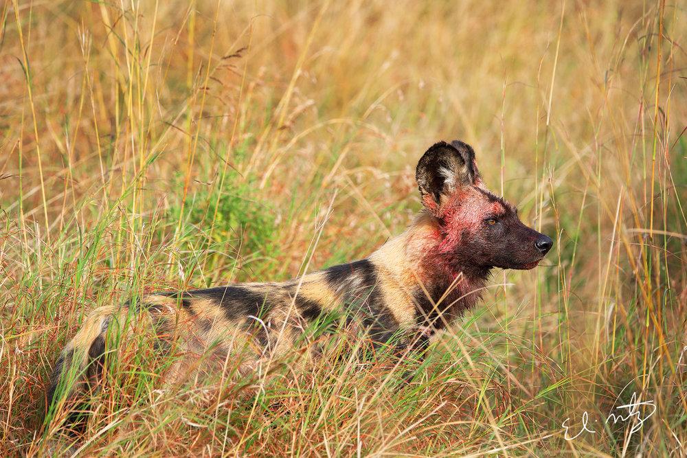 wild dog 3.jpg
