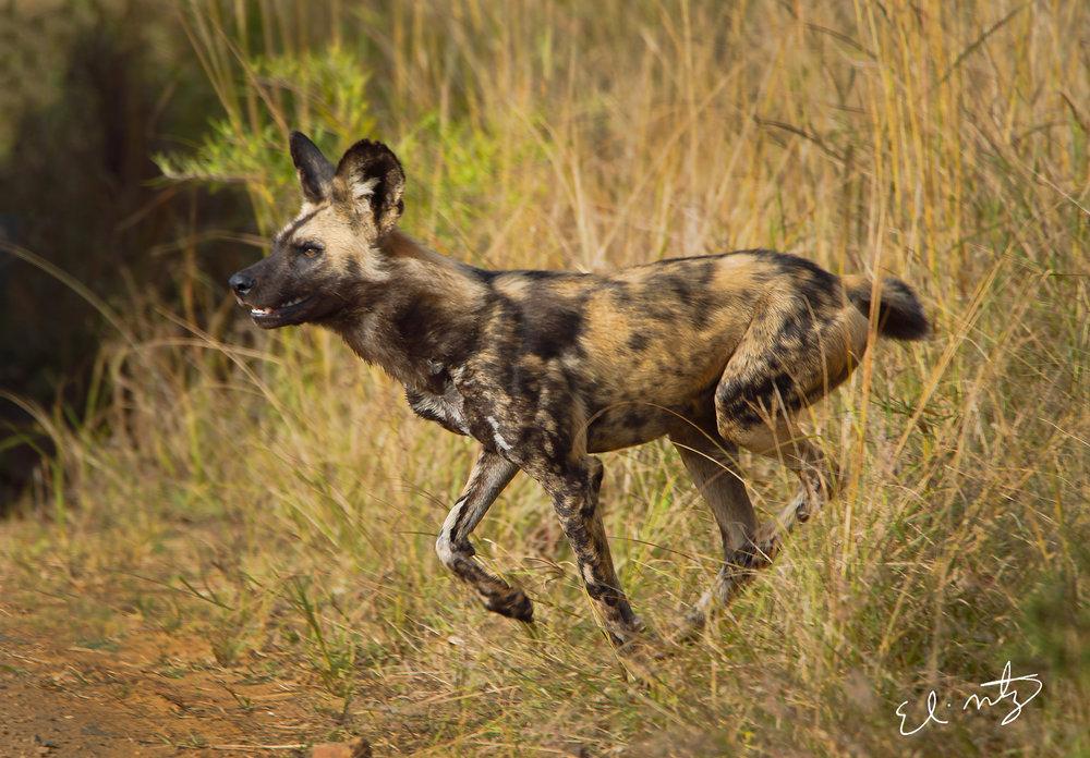 wild dog 2.jpg