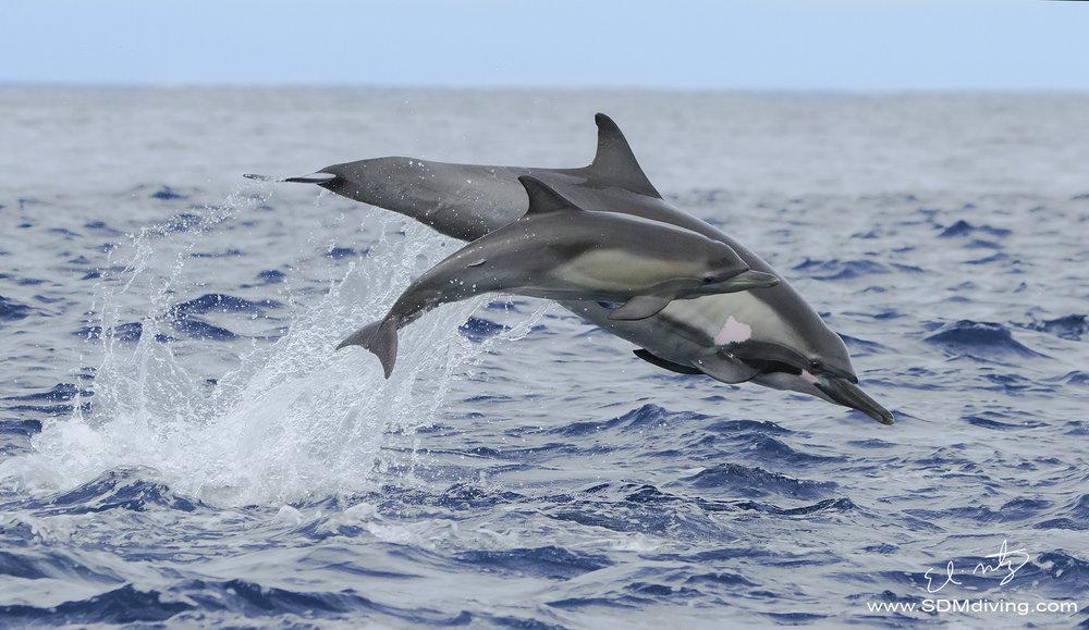 dolphins porposing.jpg