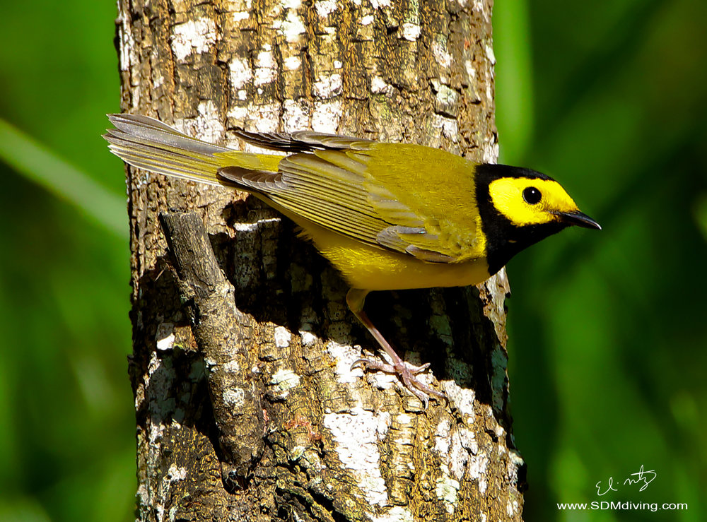 black hooded warbler 2.jpg