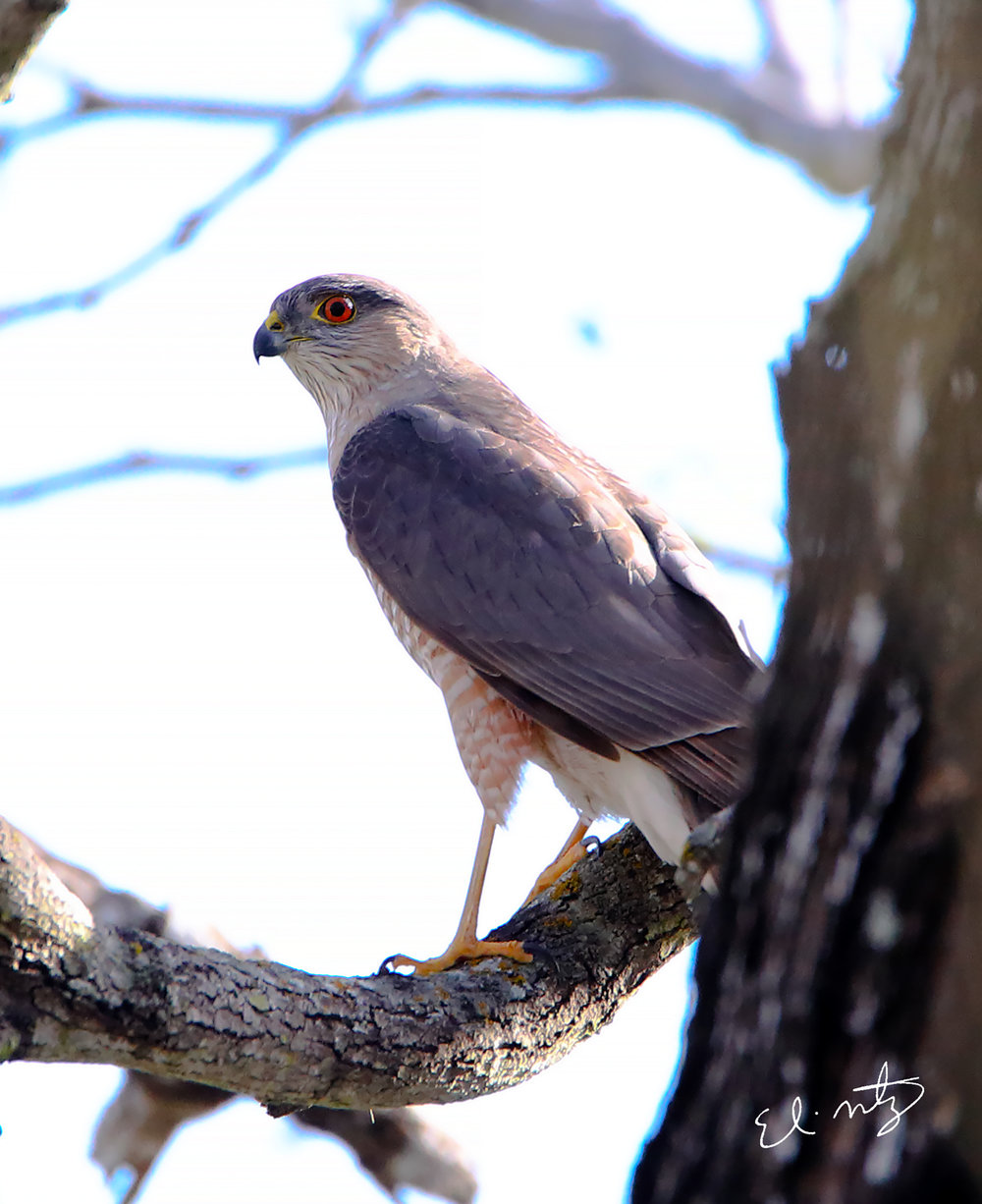 sharp shinned hawk.jpg