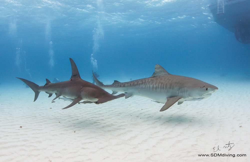 tiger shark great hammerhead.jpg