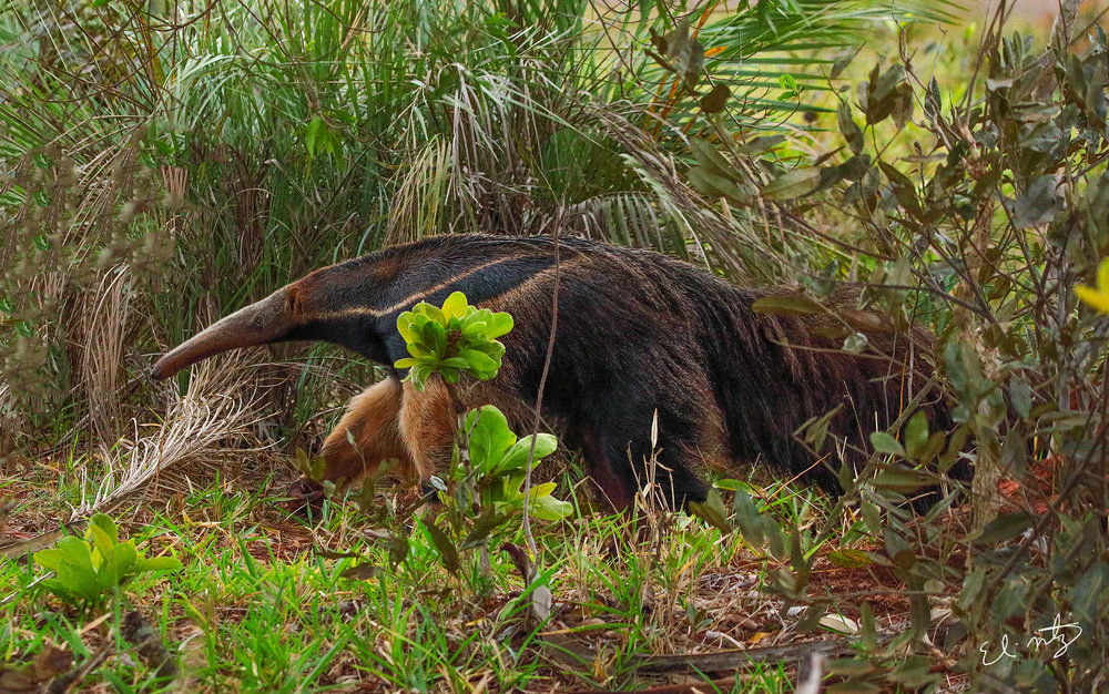 Giant Anteaters.