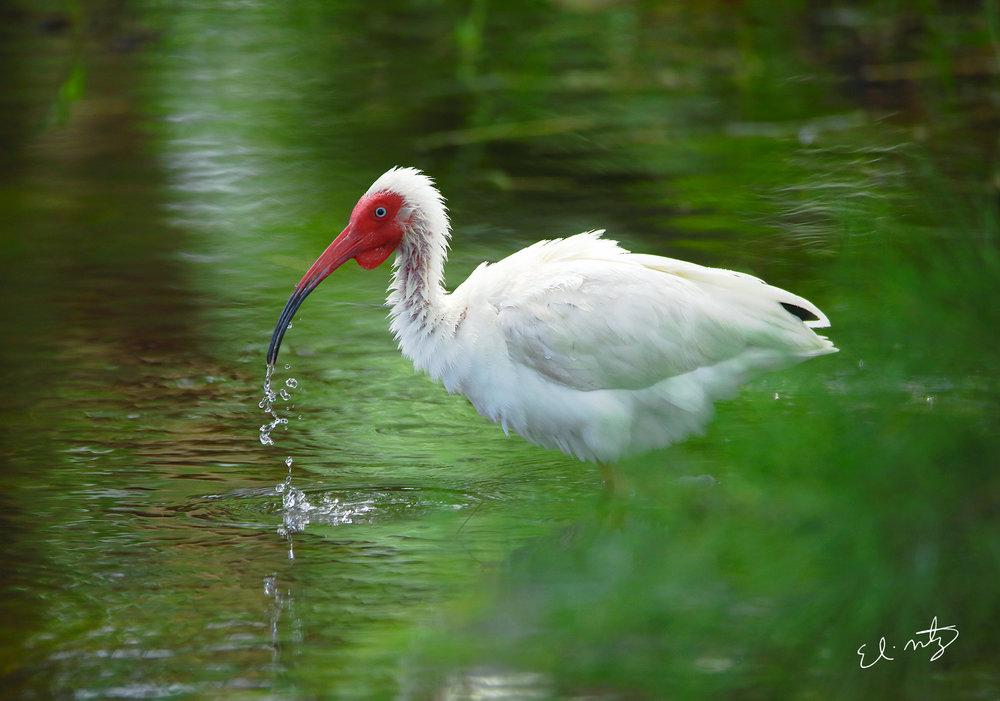 white ibis 3.jpg