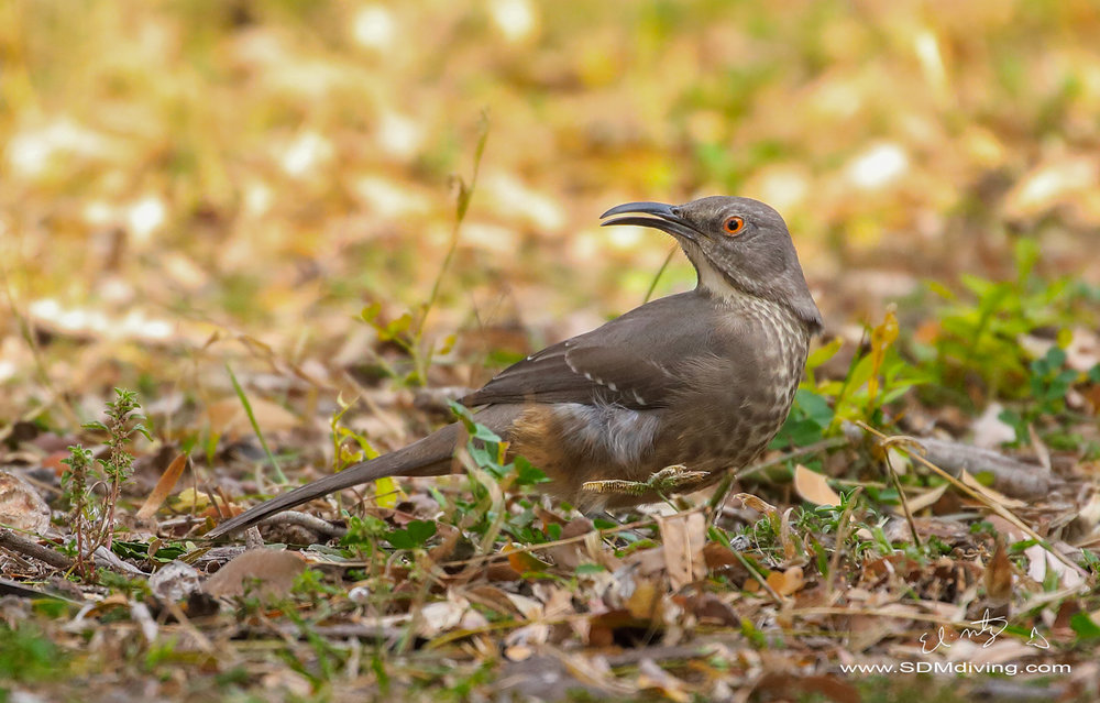 curve billed thrasher.jpg