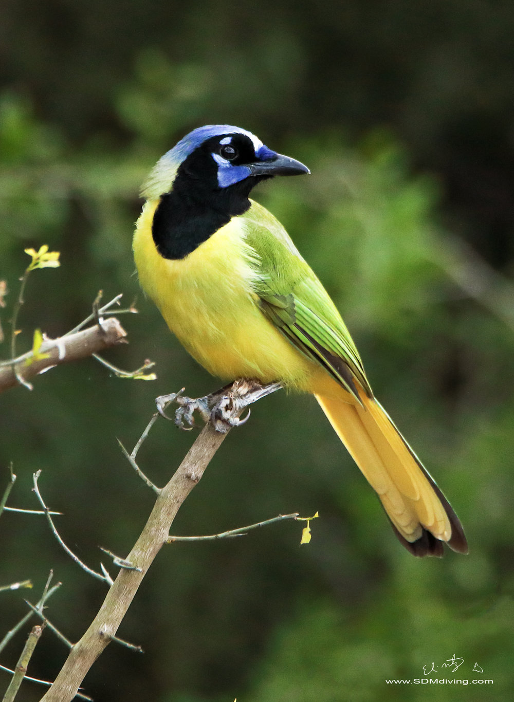 The star of the RIo Grande Valley, TX. The Greenjay