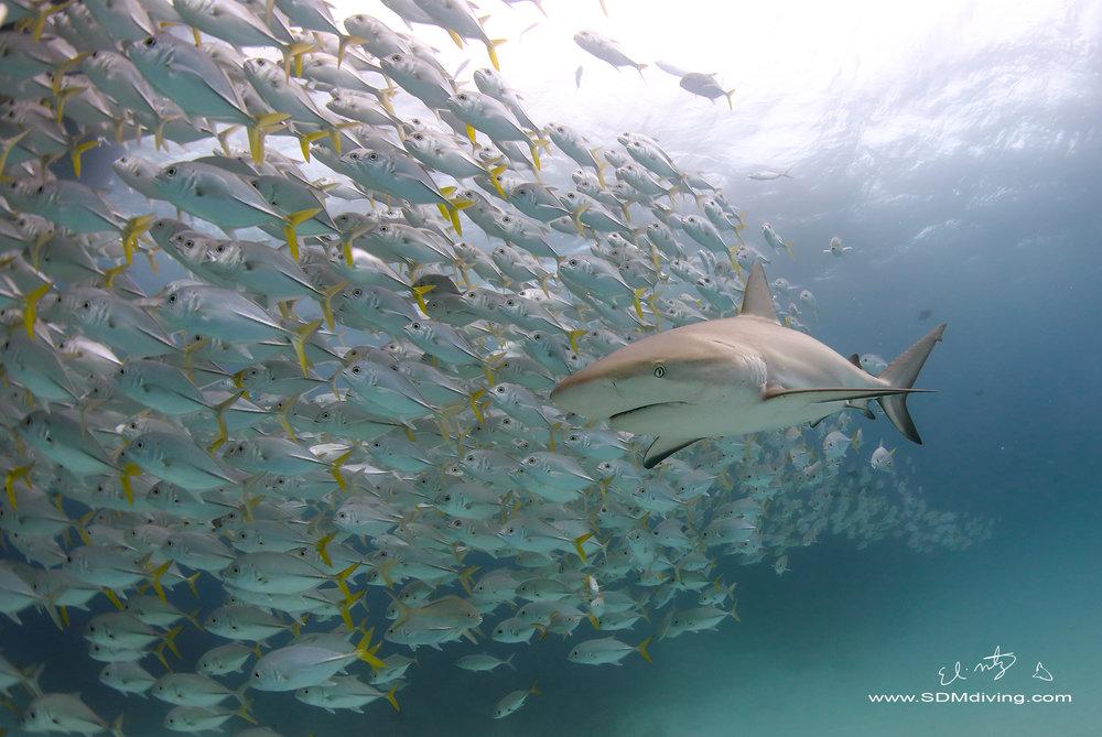 reef shark.jpg
