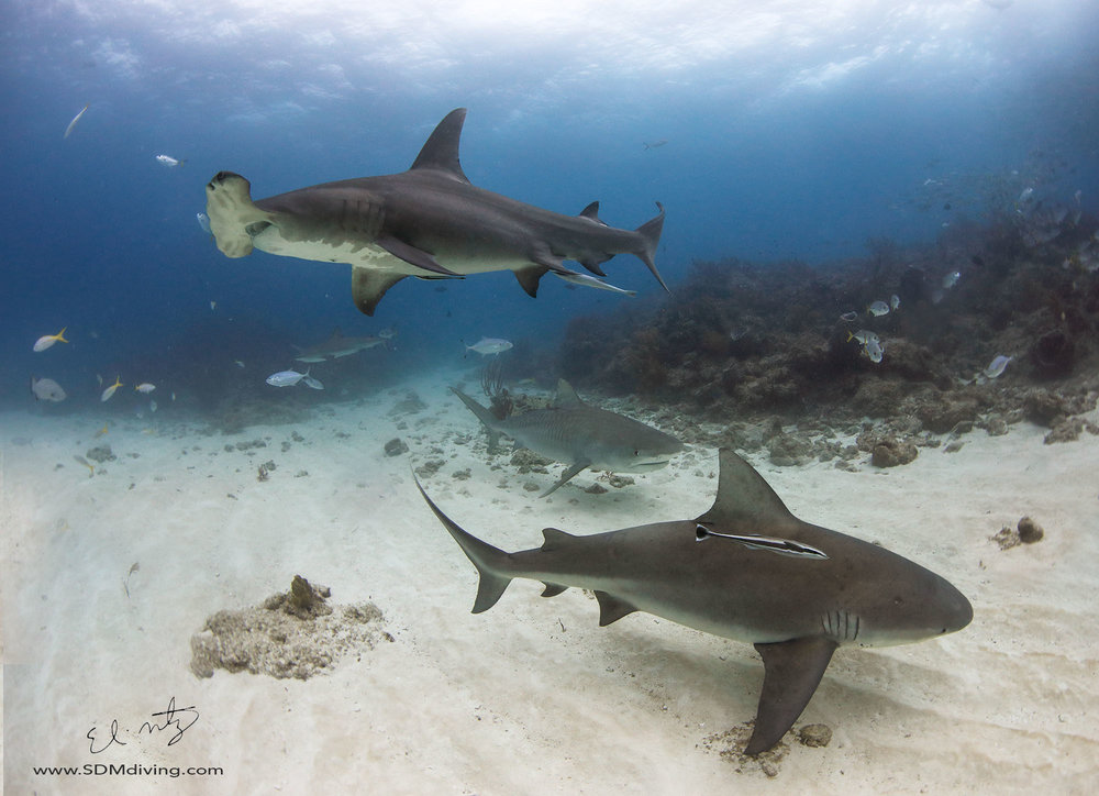 FINALLY captured an image of a tiger, great hammerhead and bull shark in one frame. I have been after this shot for a long time. It is still not the shot I have in my mind's eye, but I am getting closer.
