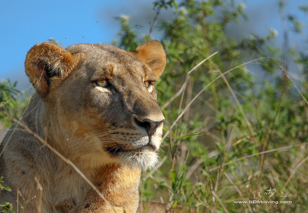 lioness 10.jpg