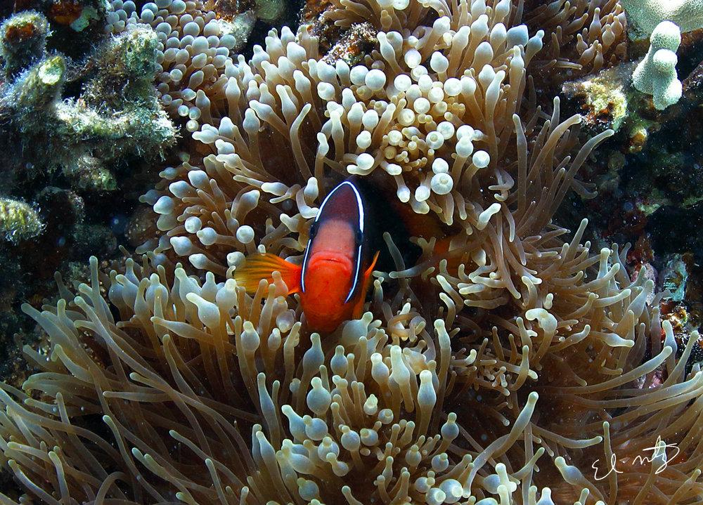 clownfish 2.jpg