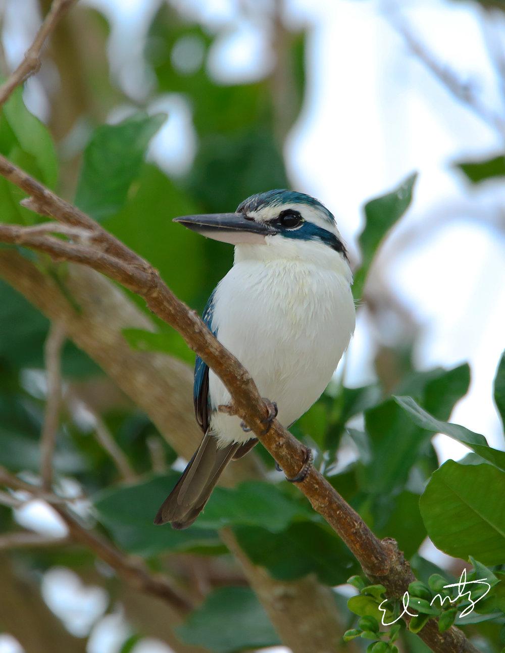 white collared kingfisher.jpg