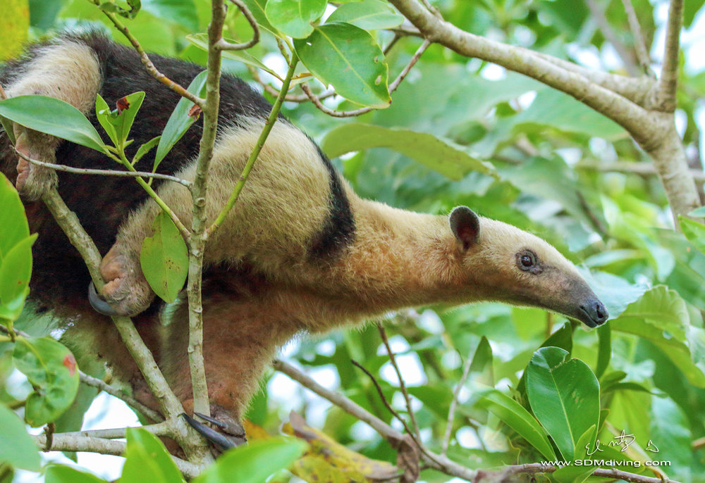 anteater 6 a.jpg