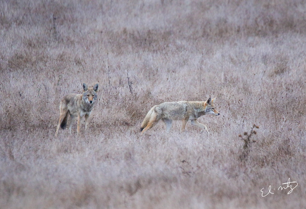 coyotes 3.jpg