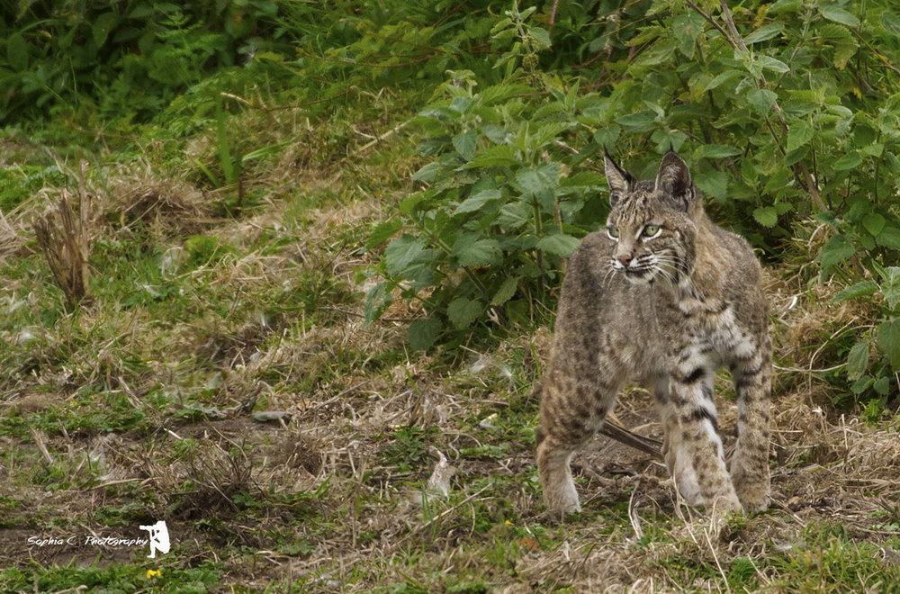 bobcat 4.jpg