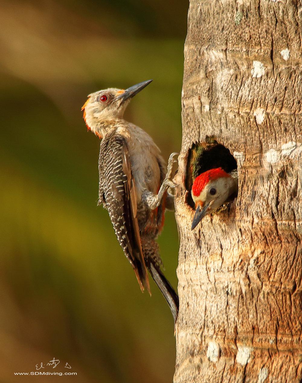 woodpecker .jpg