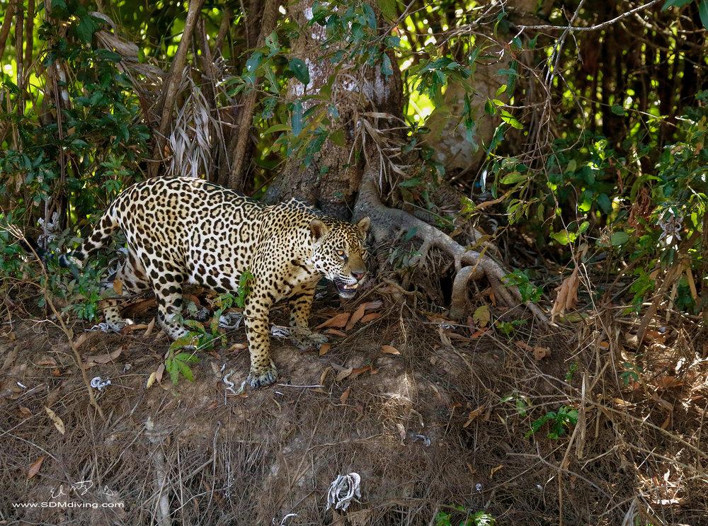 jaguar 14.jpg