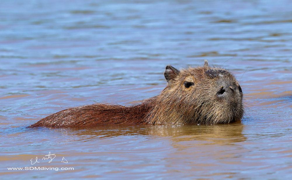 capybara 10.jpg