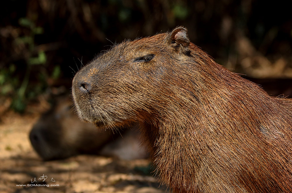 capibara head shot 2.jpg