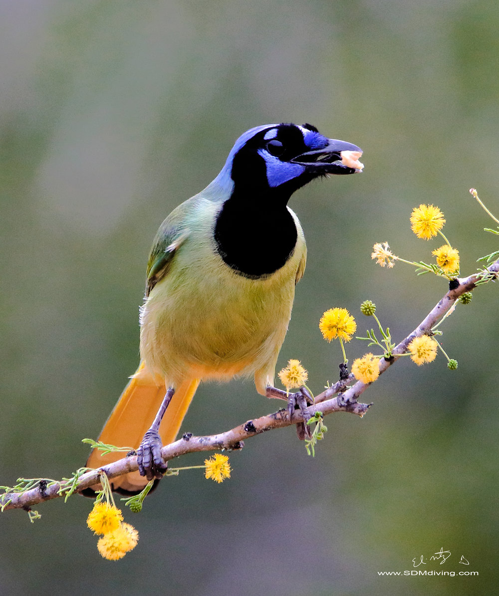 Greenjay, the stars of South Texas.