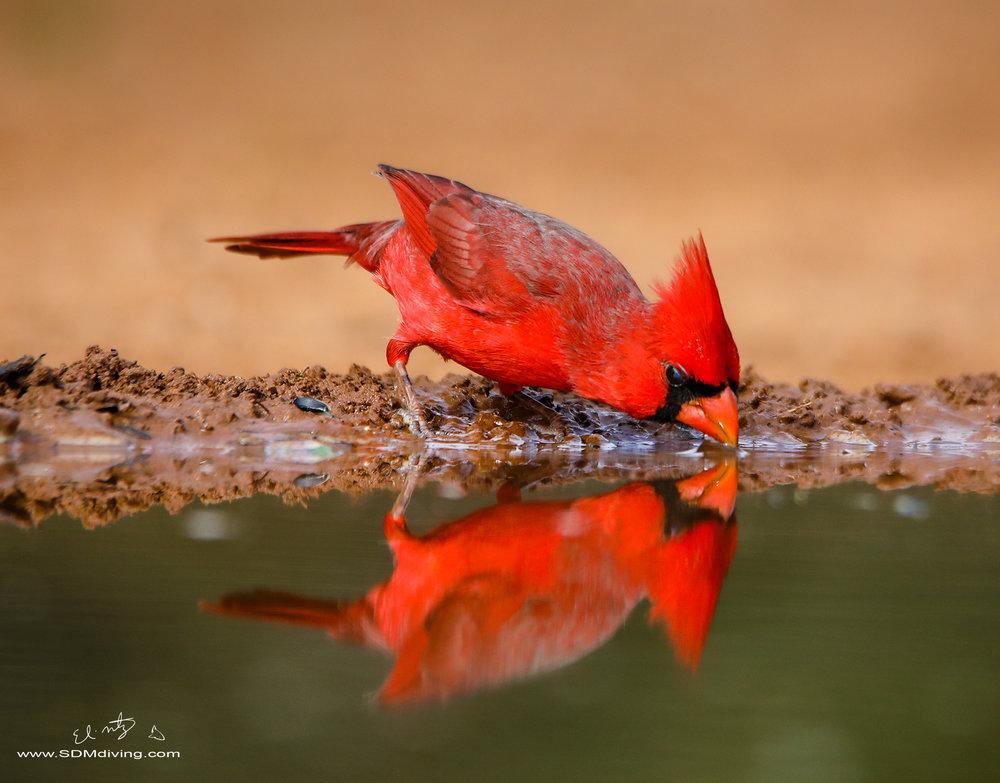 Northern cardinals.