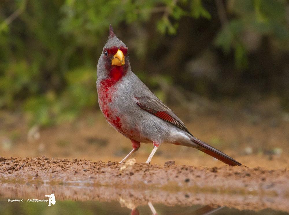 Pyrrhuloxia, the desert cardinal.