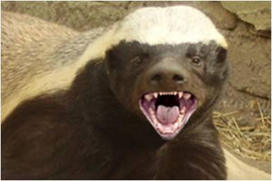 honey-badger-close-up2.jpg