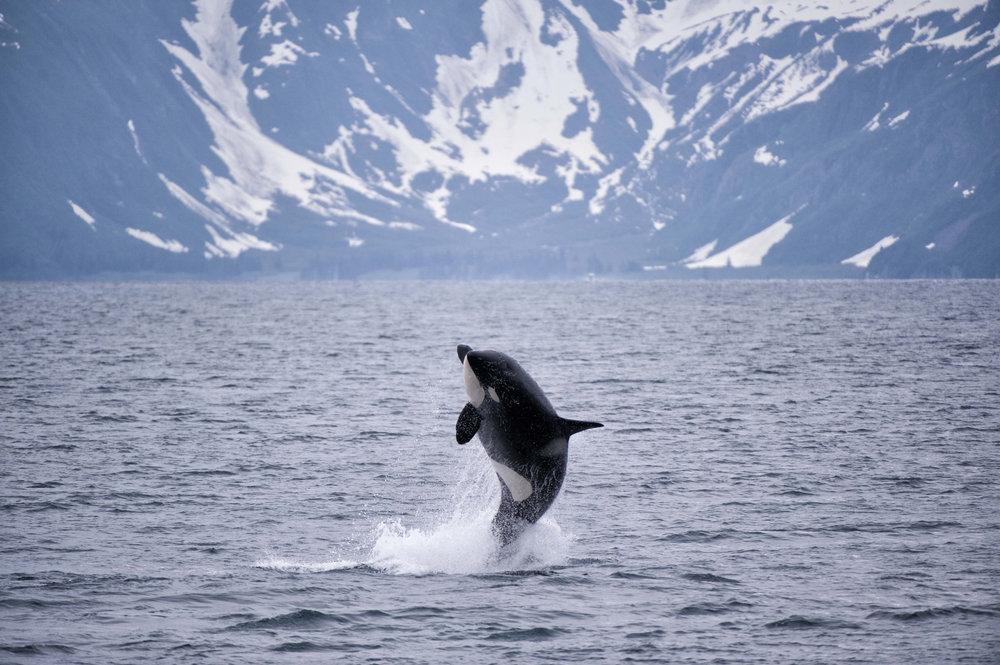 A Great Shot of a Killer Whale (Orca) While on a Kenai Fjords Tour in Seward, AK