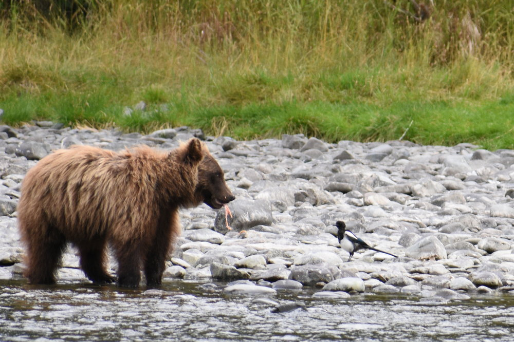 The bears are pretty good at fishing on the Kenai River!
