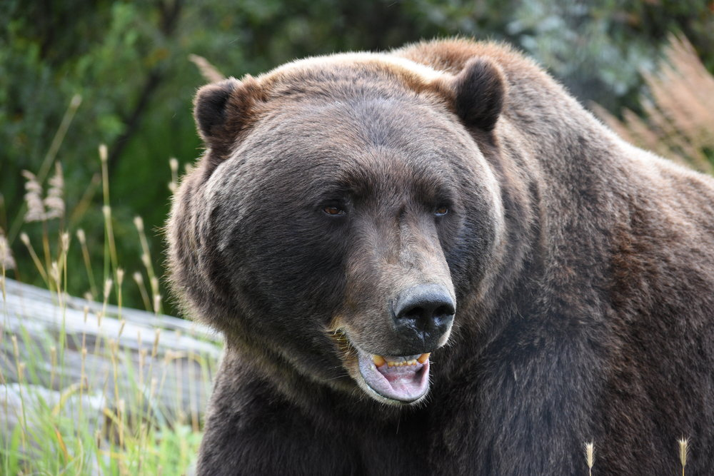 Get super close to Coastal and Grizzly Bears at the AWCC