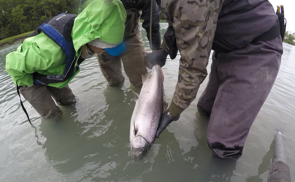 A beautiful, wild King Salmon caught on the Kasilof River. Though we could have harvested this amazing creature, we chose to let it go to continue its journey upstream to spawn.