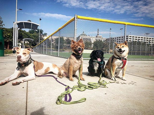 Dre had the perfect training pack today! Our OG's MOE & DOJ we're showing Harry and especially Kenny....de Wey.  @tmdb.andre let him show you de wey  #panpacificpark #dogtrainer #dogtraining #packsquad #packdogs #packstagram