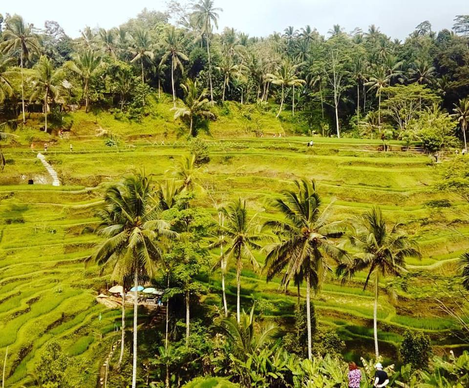 Bali_Rice_Fields.jpg