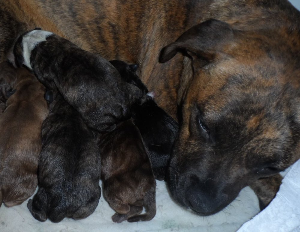 millie_rescue_staffy_9pups.jpg