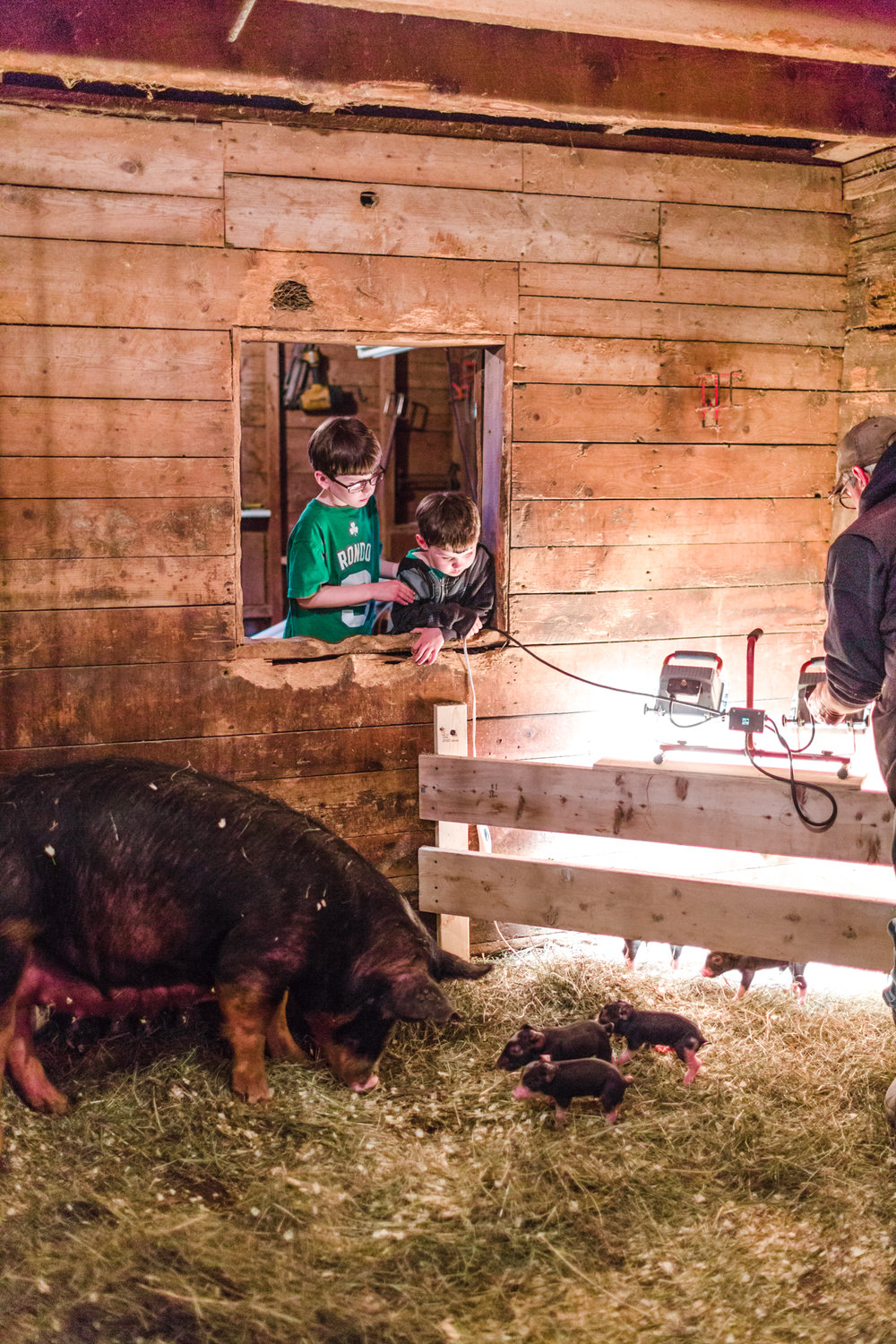 Our very first litter born on the farm was extra magical. Here Marcus & Hank look on at the hours old piglets....  Our sows are given large stalls for the most comfort.