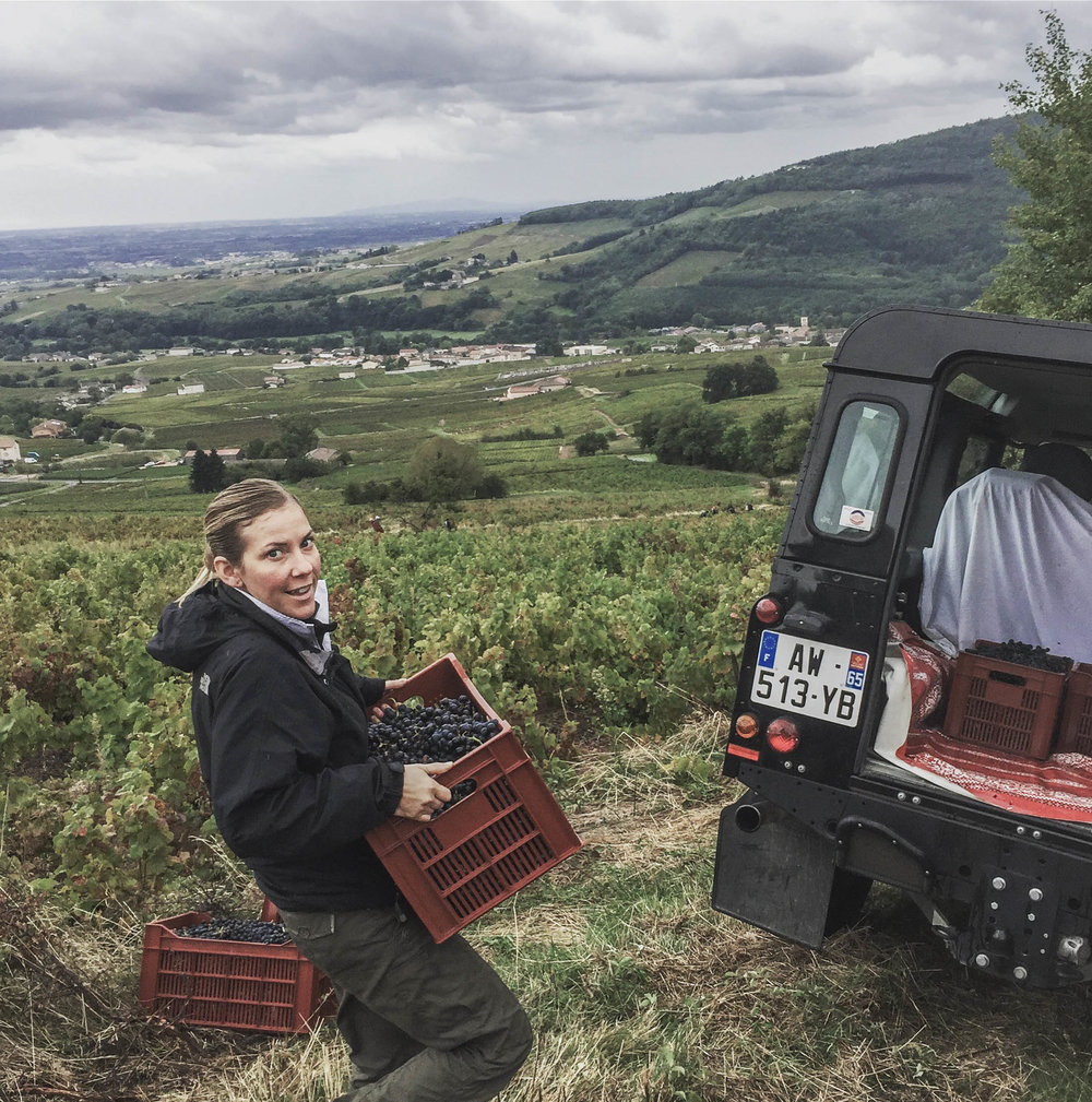 Michele harvesting the last of the   Juliénas grapes in 2017