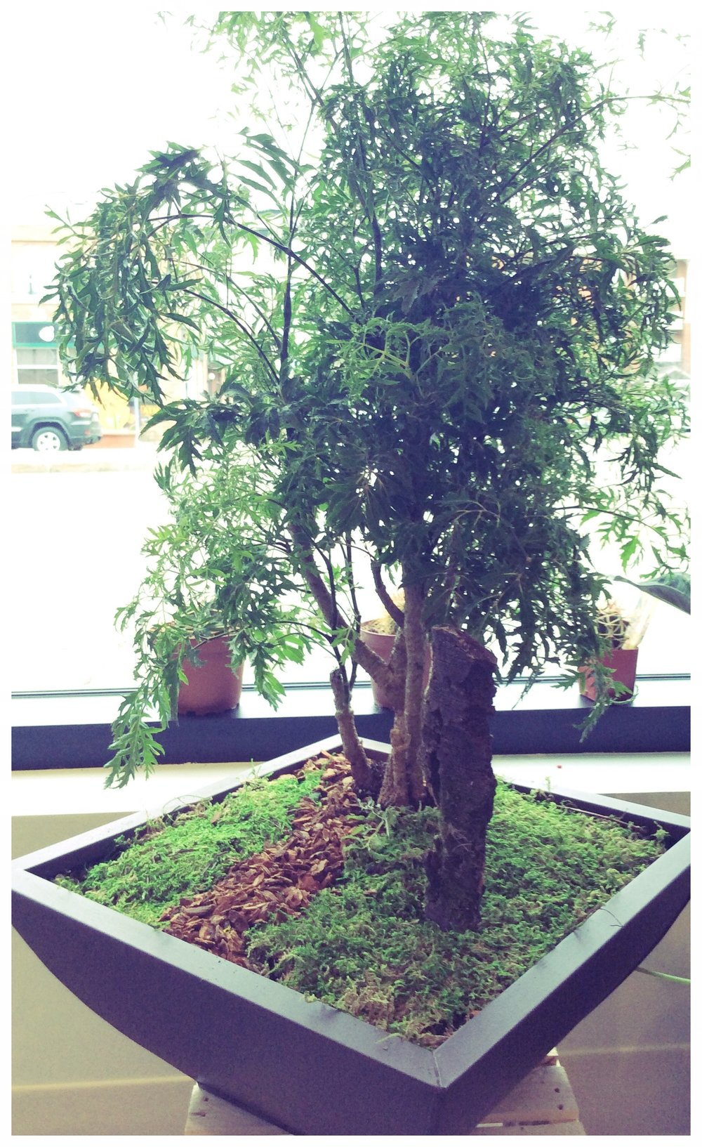 Ming Tree Bonsai
