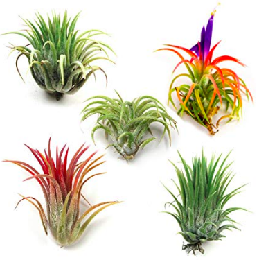 Air Plants / Tillandsia - Water: Air plants in glass terrariums should be watered every 2 to 3 weeks. Simply remove air plants and submerge for 1 hour in filtered or bottled water. Remove from water bath and shake off excess water or allow to dry overnight on paper towel. Place plants back in their glass homes. Brown tips may be from too much chlorine in the tap water. Mushy or blackened base is an indication of too much water and rot. Air plants that are not in glass will require a light mist every few days. Try misting with Orchid Spray fertilizer to encourage blooms!Light: Keep Air plants in bright to low indirect light.