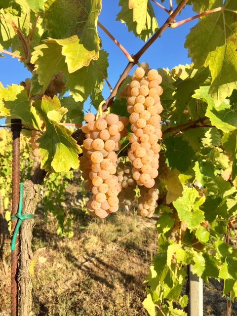 Beautiful clusters of grapes