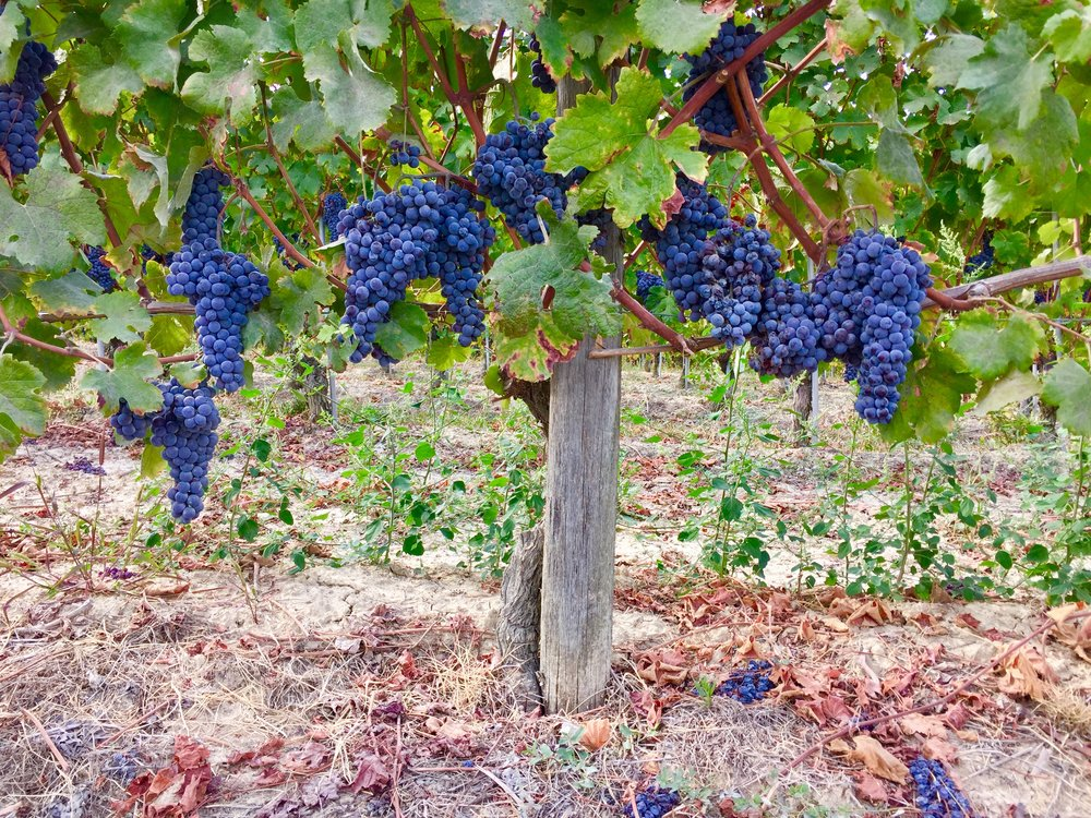Nebbiolo grapes ready for harvest