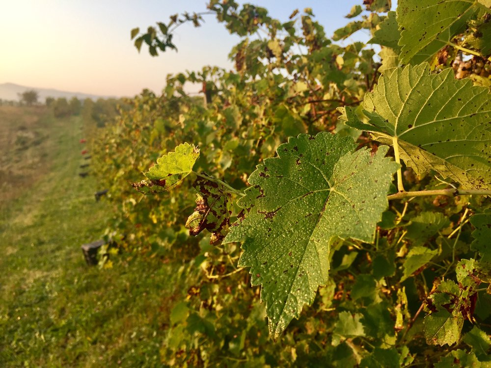 Early morning dew on the vines, Dogilani, Piedmont region of Italy.