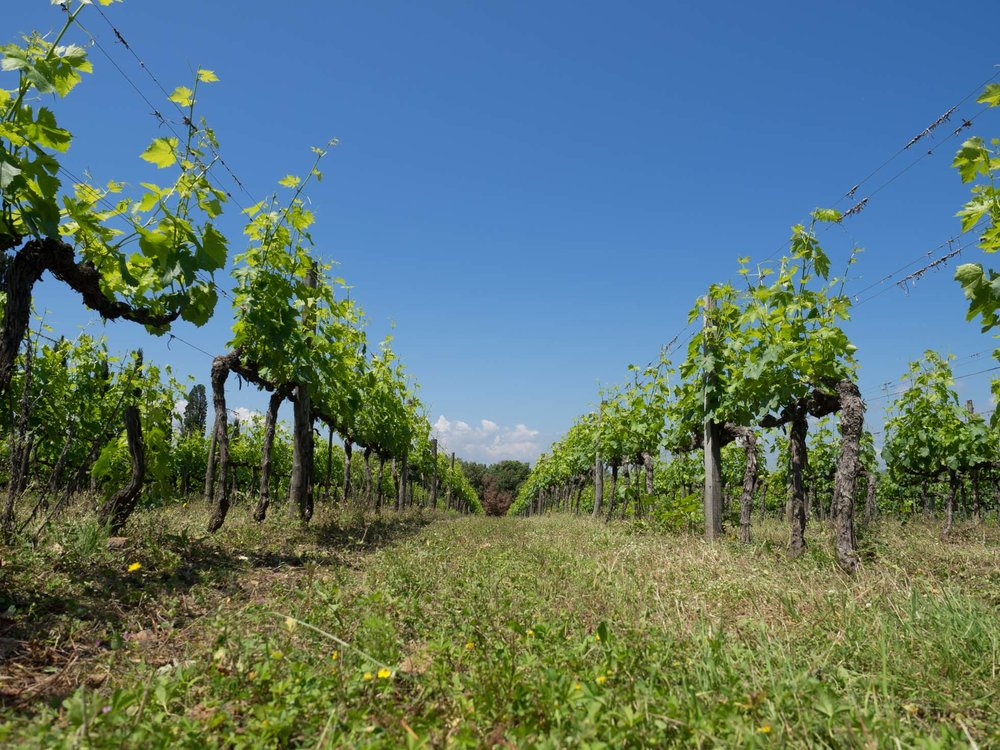 Sangiovese vines at Tenute Silvio Nardi