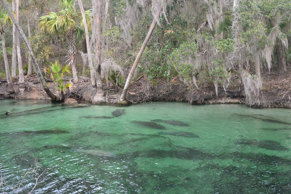 Manatees wintering at Blue Spring State Park