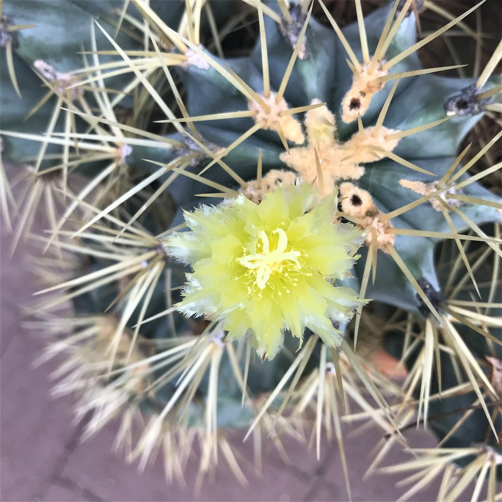 cactus flowering 3.jpg