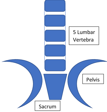 Lumbar vertebrae and Sacrum with equal space between each level