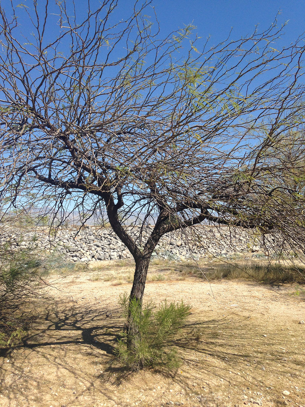 I am almost certain this is a Mesquite tree