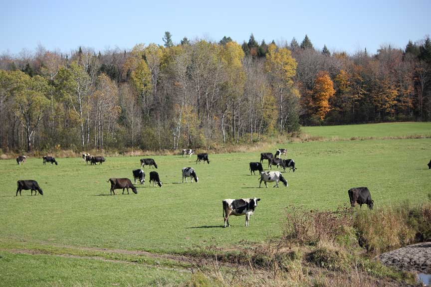 This is what Vermont cows do!