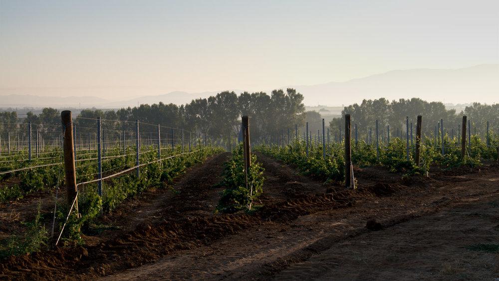 Fresh vines...