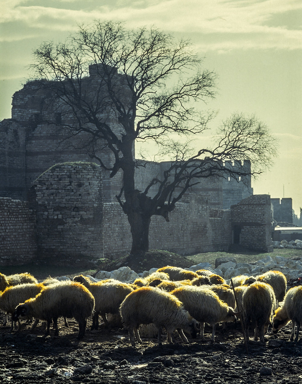 Sheep near the ancient city wall of Istanbul, Turkey