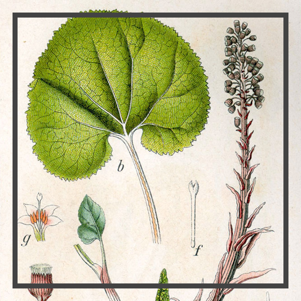 Petasites Hybridus Extract.jpg